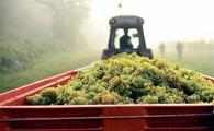 기후변화로 와인 생산지에도 변화가 일고 있다. 영국 켄트 지역의 한 와이너리에서 포도를 수확하는 모습.          <로이터>