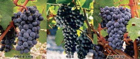 헵번의 조상, 혼종… 와인 명산지·포도 품종의 기원